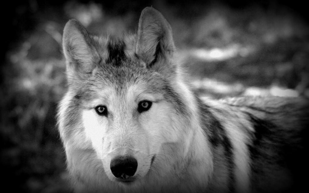 Animal tellement magnifique que ta beauté en est devenue maléfique... Les loups du Gévaudan dans Amimaux bb