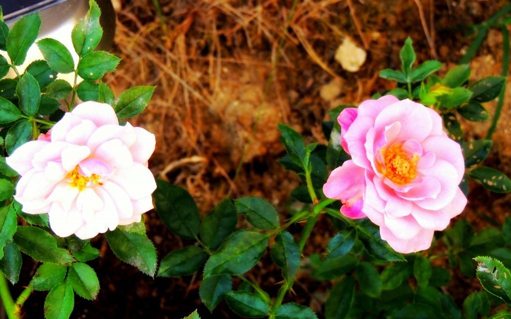 La vie en rose dans Cour et Jardin dscn3750